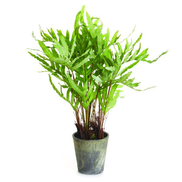 Picture of HARE'S FOOT FERN POTTED 36""
