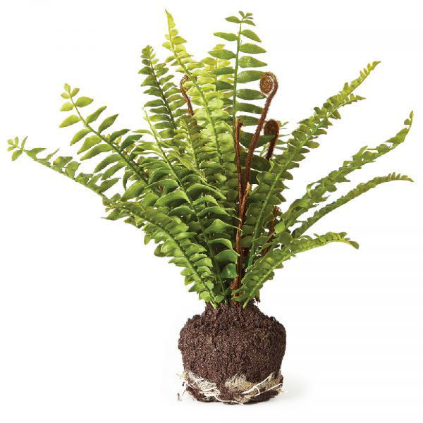 Picture of BOSTON FERN DROP-IN