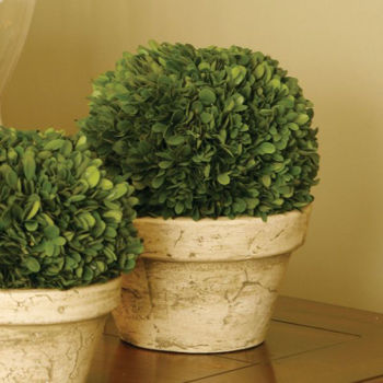 Picture of LARGE BOXWOOD BALL IN POT