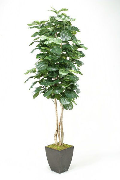 Picture of FIDDLE LEAF FIG TREE