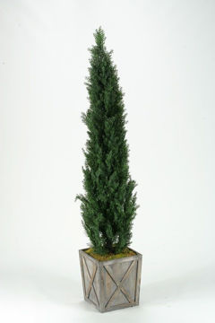 Picture of CEDAR TREE IN WOODEN BOX