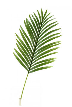 Picture of LARGE HAWAIIAN PALM LEAF