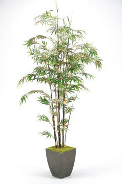 Picture of BAMBOO TREE IN PLANTER