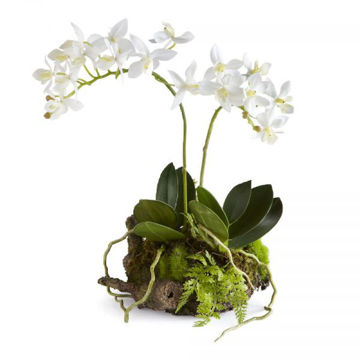 Picture of DENDROBIUM DROP IN