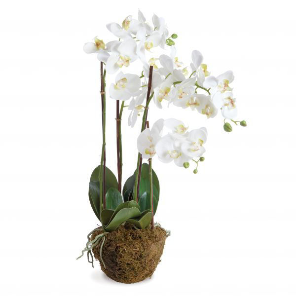 Picture of PHALAENOPSIS DROP-IN