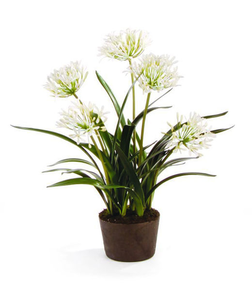 """Picture of 29"""" AGAPANTHUS DROP-IN"""