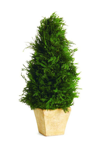 """Picture of CYPRESS CONE 15"""" TOPIARY"""
