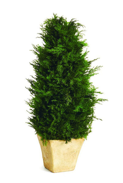 """Picture of CYPRESS CONE 19"""" TOPIARY"""